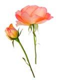 Orange rose and bud. Isolated on white stock images
