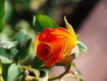 Orange rose bud. Macro shot of garden and ornamental flowers, back, yard, bloom, leaf, plant, weed, green, area, nature, close-up, pollen, powder, beauty, sew stock photo