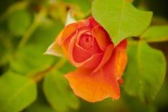 Orange rose. A Budding orange rose Royalty Free Stock Photo