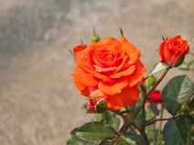 Orange rose bush. Royalty Free Stock Image