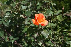 Orange rose on a bush. Close-up of an orange rose on a bush growing in a garden on a sunny winter day stock photography
