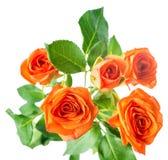 Orange rose bush flowers is isolated over white, royalty free stock image