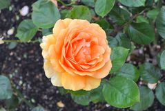 Orange rose. In the centre of the photo a large open orange rose, around it green leaves of the rose bush and some brown-black soil to the left stock image