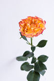 Orange rose in the clear vase. One full-blown orange color tea rose  with red edges on a green stalk, on white background, vertical image Royalty Free Stock Photo
