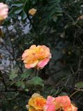 Orange Rose. The Orange rose is Cliked in india and the phone is Iphone 5s royalty free stock photos
