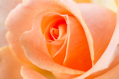 Orange rose close-up Stock Photos