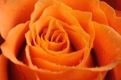 Orange rose close up. Close up of an orange rose royalty free stock photography