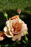 Orange Rose. Close up of an orange rose in bloom royalty free stock image