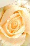 Orange rose. Close up flower royalty free stock photography