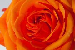 Orange rose. Close up image of single orange rose royalty free stock photography