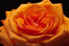 Orange rose. Close up image of single orange rose stock image