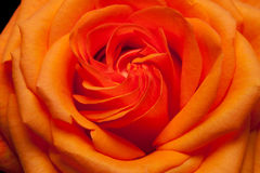 Orange rose. Close up image of single orange rose stock photos