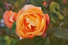 Orange rose close up among the leaves. Orange rose closr-up in garden royalty free stock photos
