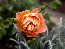 Orange rose close up. Garden stock photography