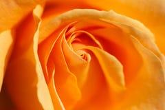Orange rose close-up Stock Image