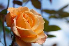 Orange rose close-up Royalty Free Stock Photography