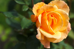 Orange rose close-up stock photography