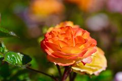 Orange rose,close up Stock Images