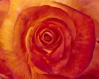 Orange rose close-up Royalty Free Stock Images