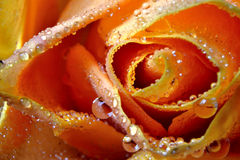 Orange rose. A close-up of an orange rose with water drops stock images