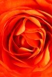 Orange rose closeup Royalty Free Stock Image