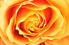 Orange rose closeup Royalty Free Stock Photo