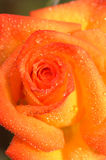Orange rose closeup Stock Photo