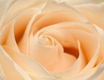 Orange rose closeup. Abstract blur rose stock photos