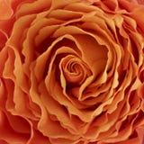 Orange rose. Closeup of an orange rose stock photo