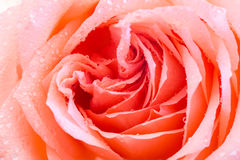 Orange rose closeup Royalty Free Stock Photo