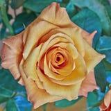 Orange rose closeup Stock Images