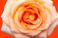 Orange rose closeup Stock Photography