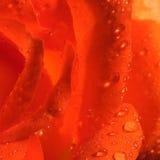 Orange Rose. Closeup macro of an orange rose stock images