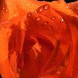 Orange Rose. Closeup macro of an orange rose stock photo