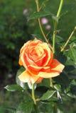 Orange rose. Closeup view of a beautiful orange rose stock image