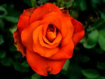 Orange Rose Closup Shot royalty free stock images