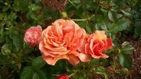Orange rose clusters. Varigated orange-yellow rose bush royalty free stock images