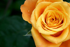 Orange rose with copy space Royalty Free Stock Photo