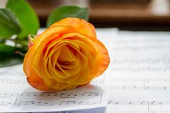 Orange rose. A cut Orange rose laying down on a table in front of a window inside Royalty Free Stock Photo