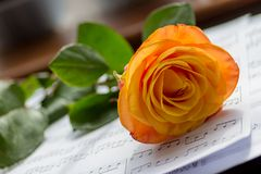 Orange rose. A cut Orange rose laying down on a table in front of a window inside Stock Photos