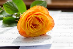 Orange rose. A cut Orange rose laying down on a table in front of a window inside Royalty Free Stock Photography