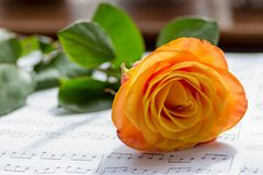 Orange rose. A cut Orange rose laying down on a table in front of a window inside Stock Image