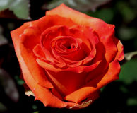 Orange Rose. With Dew, Serene yet Festive stock photos