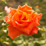 Orange rose and dew. With warm light in a morning. And flare light royalty free stock photography