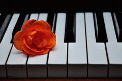 An orange rose displayed on top of piano keys stock image