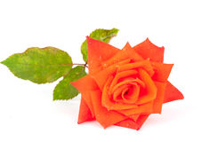 Orange rose with drops Royalty Free Stock Photos