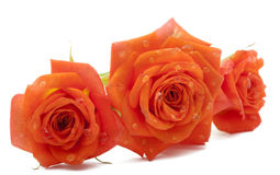 Orange rose with drops Royalty Free Stock Photo