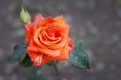 Orange rose in drops of rain fresh summer background Stock Images