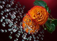 Orange rose and drops Stock Photo