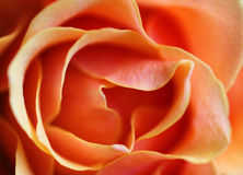 Orange Rose. Extreme closeup of orange rose royalty free stock images